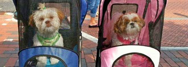 How to train your dog to use a pet stroller, carrier or cycle trailer