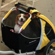 Burley Design Tail Wagon Bicycle Dog Trailer medium sized dog enjoying a ride