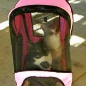 indoor cats out in a pet stroller