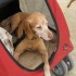 Reasons why a large breed of dog may need a dog stroller
