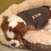 small dog asleep in thundershirt