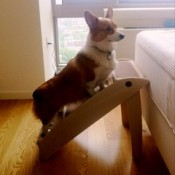 corgi using a set of dog steps