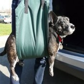a dog lifting harness can be used to place your dog into a car